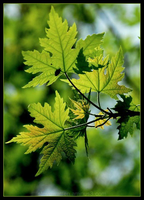 Maple Leaves with Insect