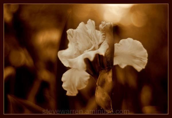 Iris in Sepia