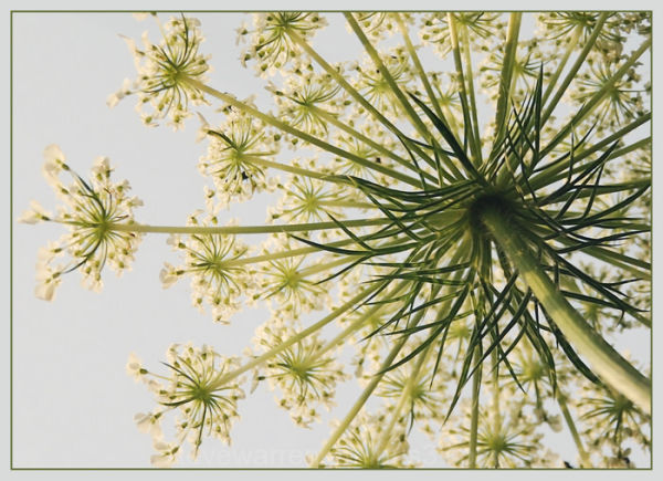 Queen Anne's Lace ll