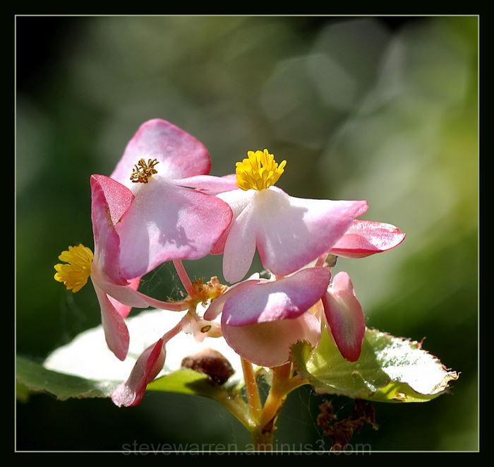 Pink Begonia ll