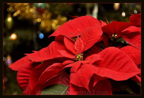 Poinsettia ll