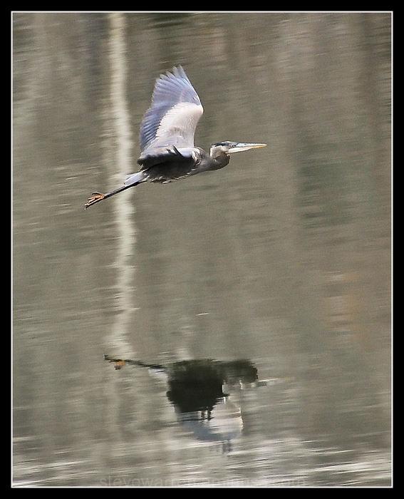 Blue Heron in Flight ll