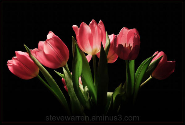 Tulip Buds lll