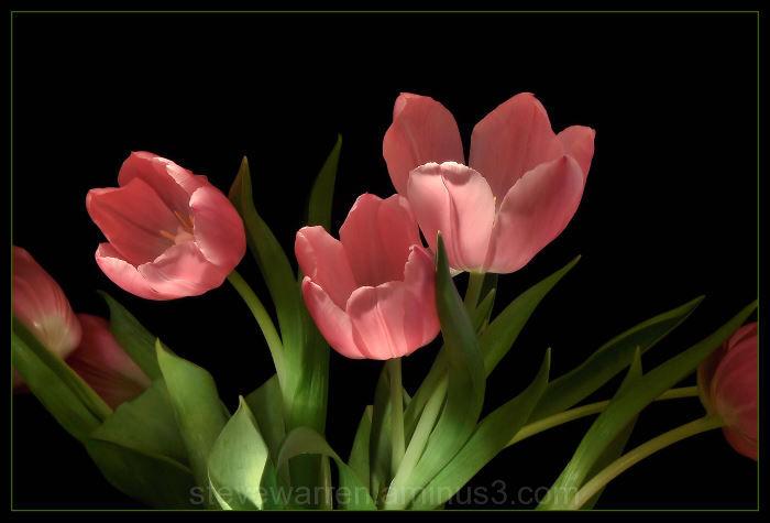 Tulip Buds lV