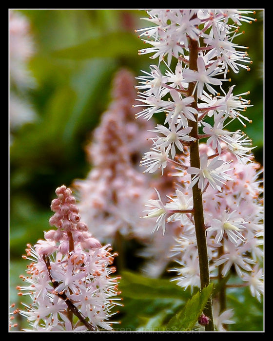 Pink buds, White blooms ll