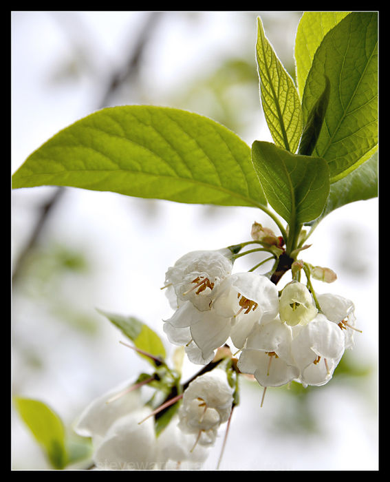 White Bloom Clusters and Green Leaves