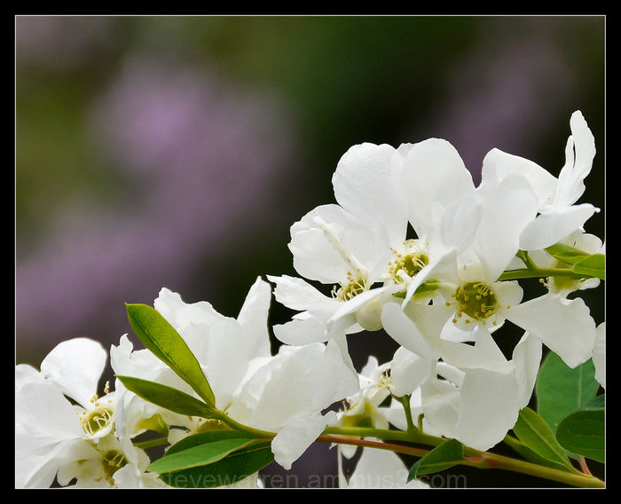 Showy White Blooms