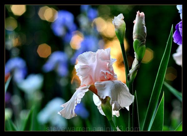 Iris and Sparkling Sun, V