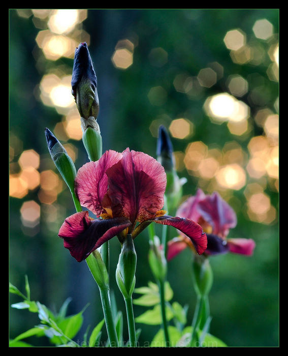 Iris and Sparkling Sun, Vll