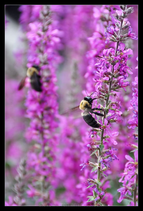 Bumble Bees....Working