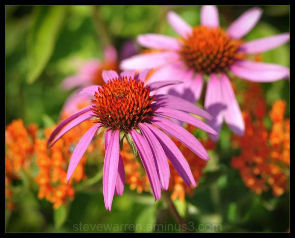 Cone flower V