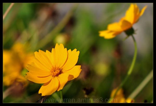 Yellow Tickseed