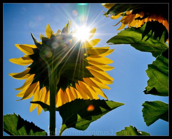 Sun---flower