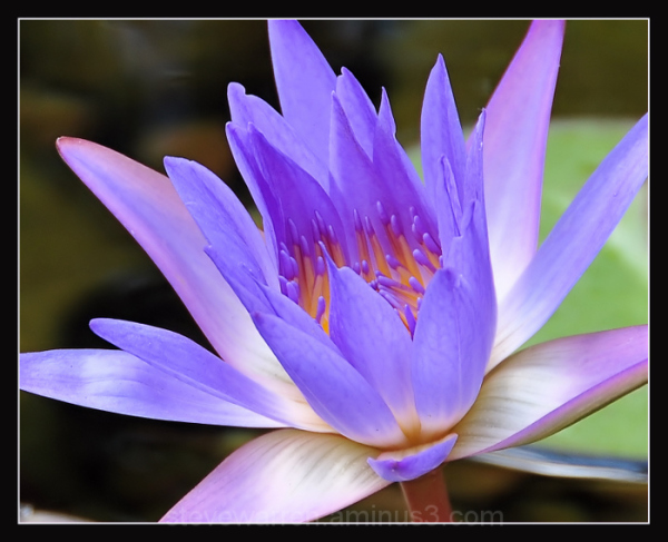 Water Lily lll