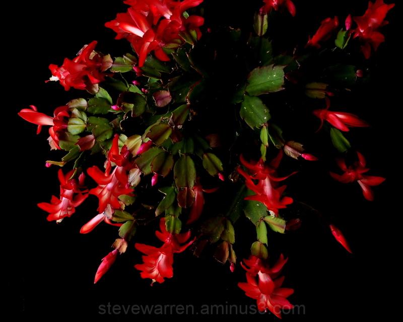 Christmas Cactus l