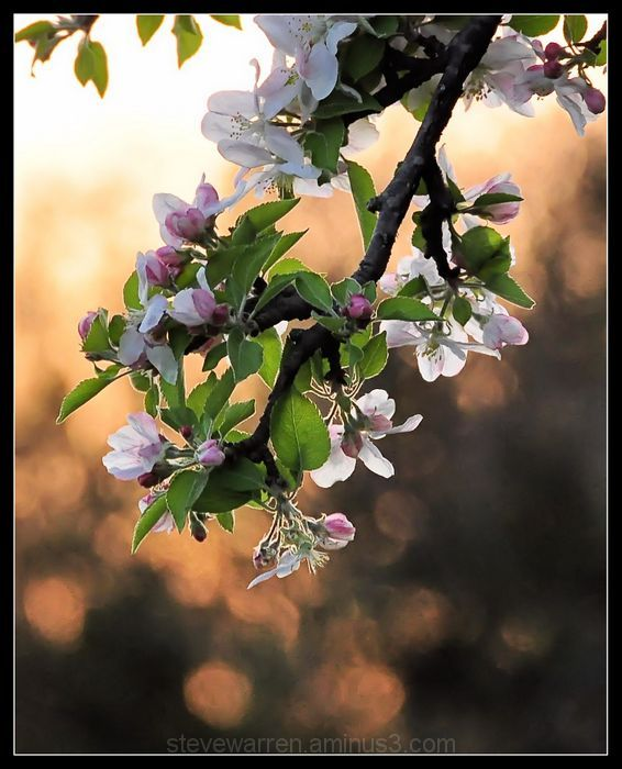Apple Tree Blossoms at Sunset