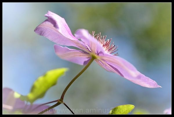 Clematis lll