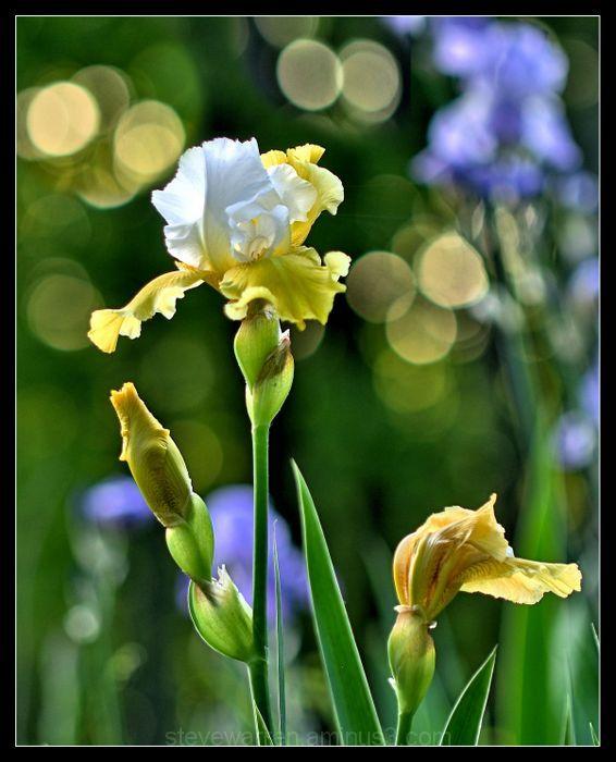 Setting Sun and Iris