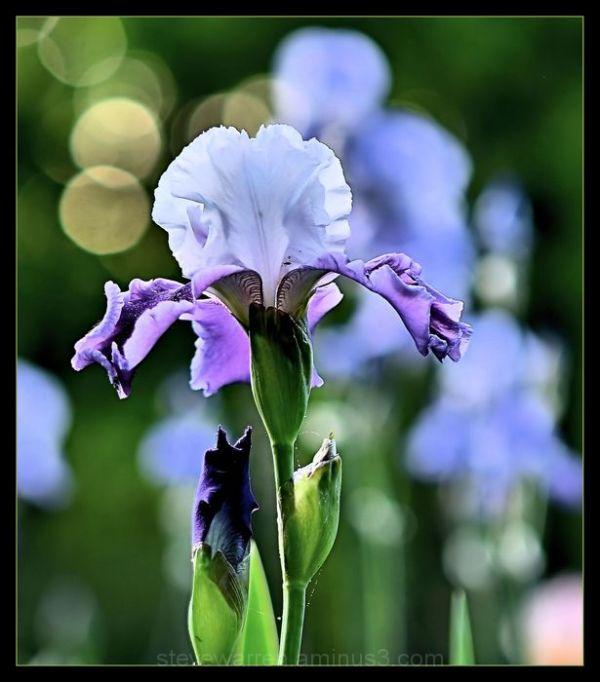 Iris in the Evening