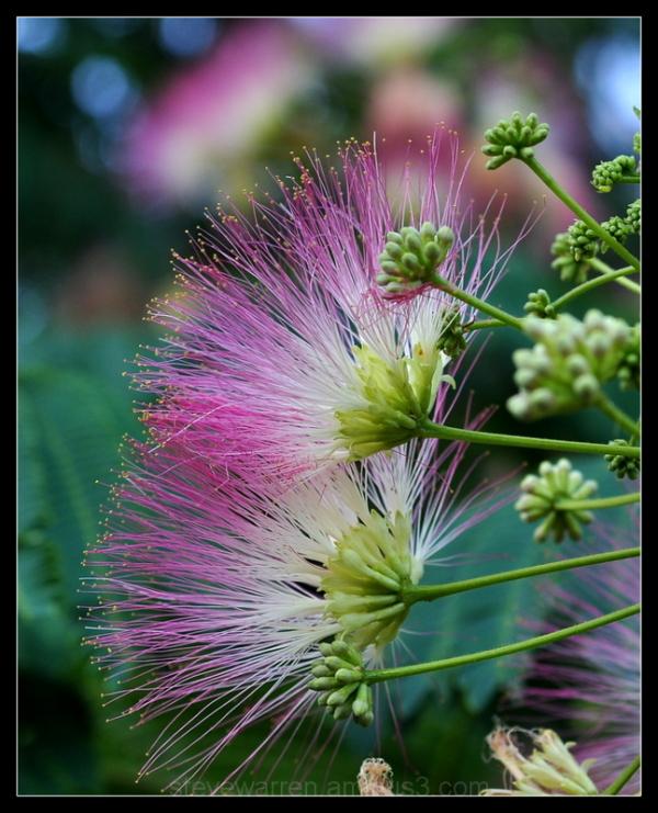 Mimosa Tree Blossoms, ll