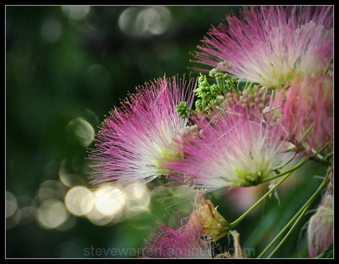 Mimosa Tree Blossoms, V