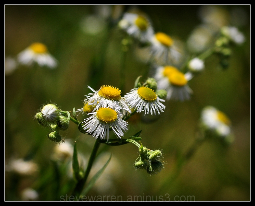 Little Wild Daisies
