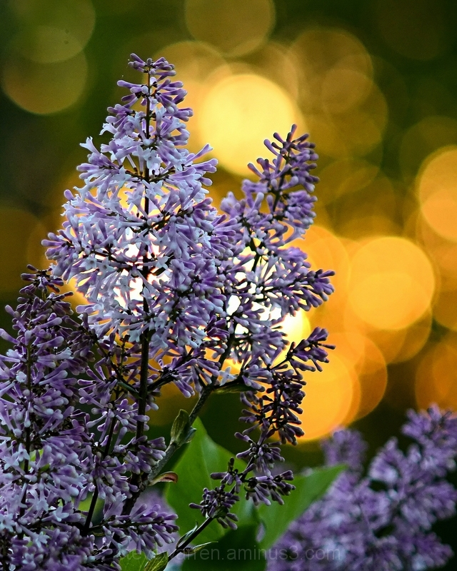 Lilacs at the Golden Hour