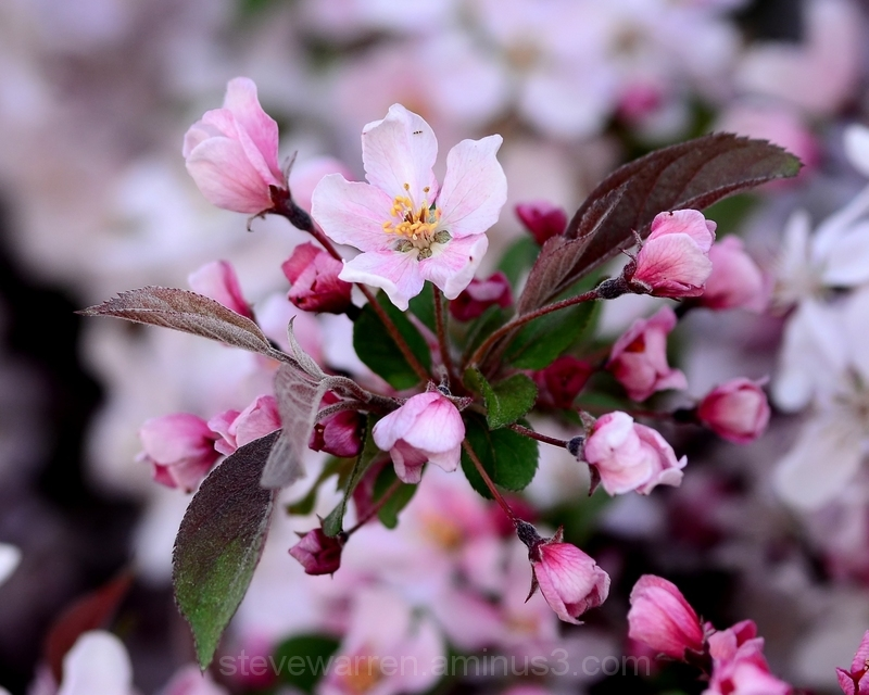 Blossom and Buds
