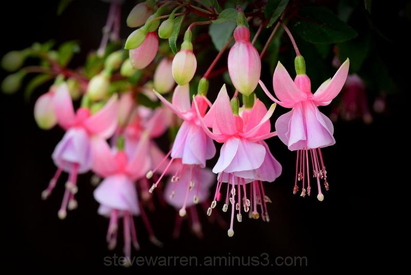 Fuchsia...2