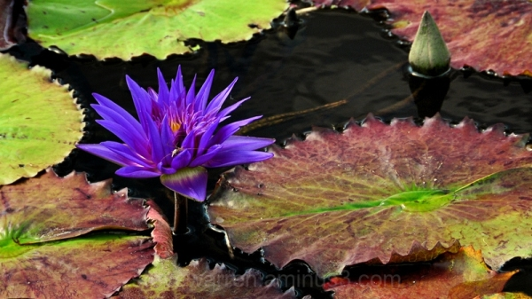 Water lily 6
