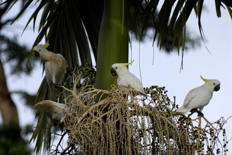 sulfer crested cockatoo