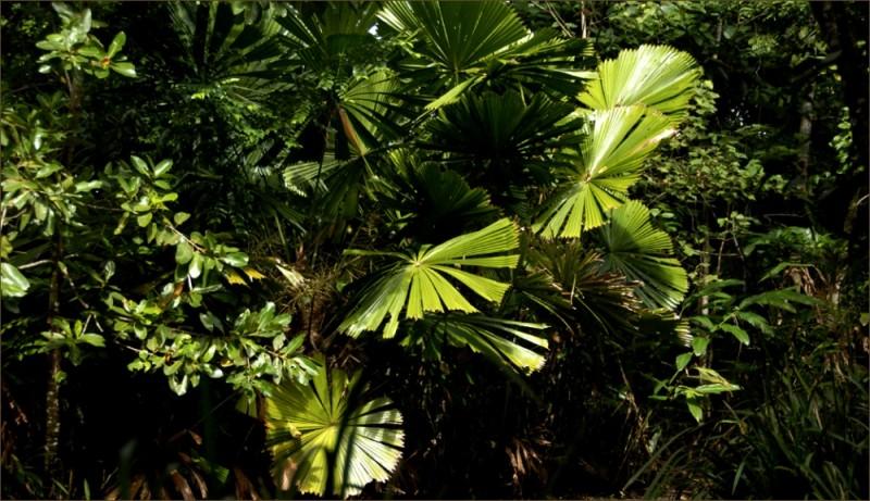 palms at cape tribulation