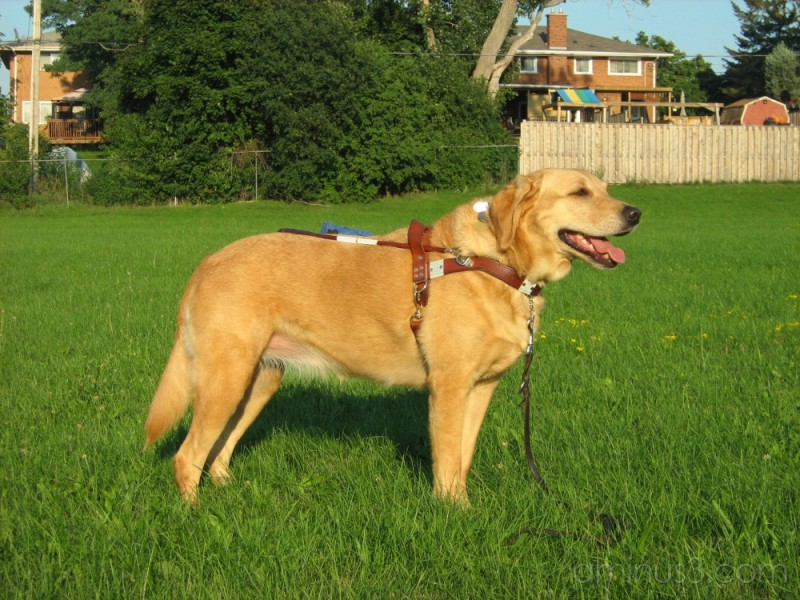 Guide dog in harness