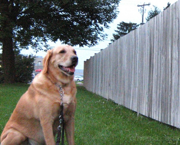 dog by fence