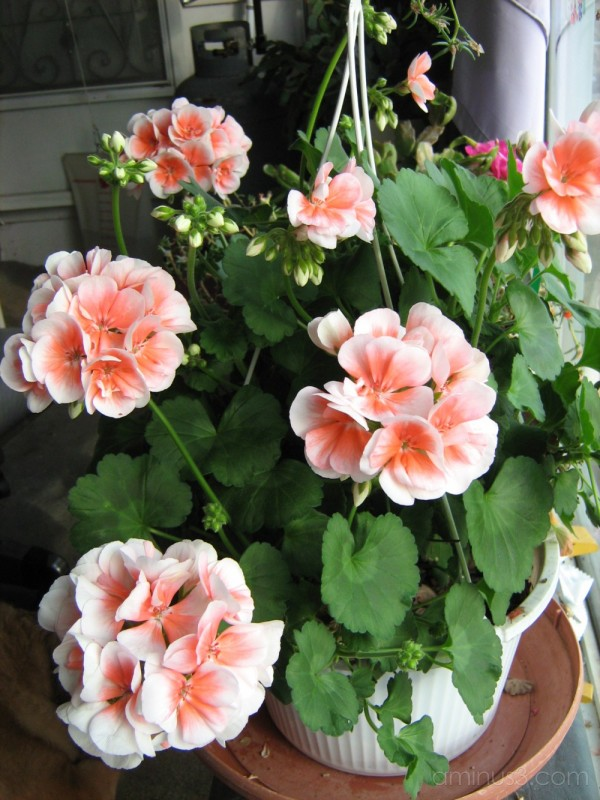 pink roses in sunroom