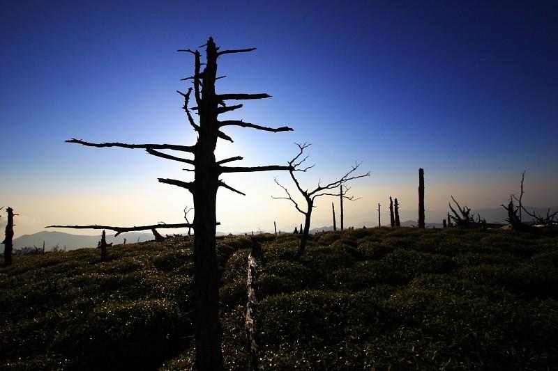 Sapless Trees