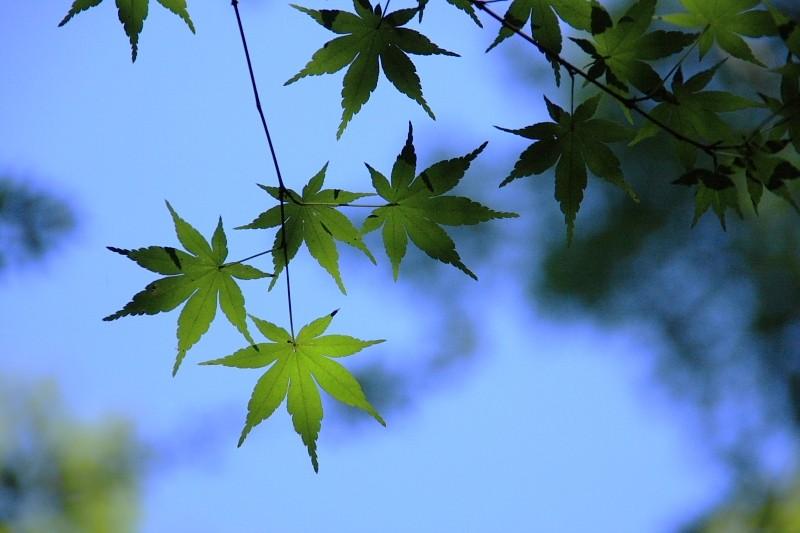 Japanese Green Maple Leaves