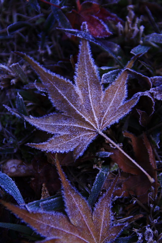 Leaf Covered with Frost