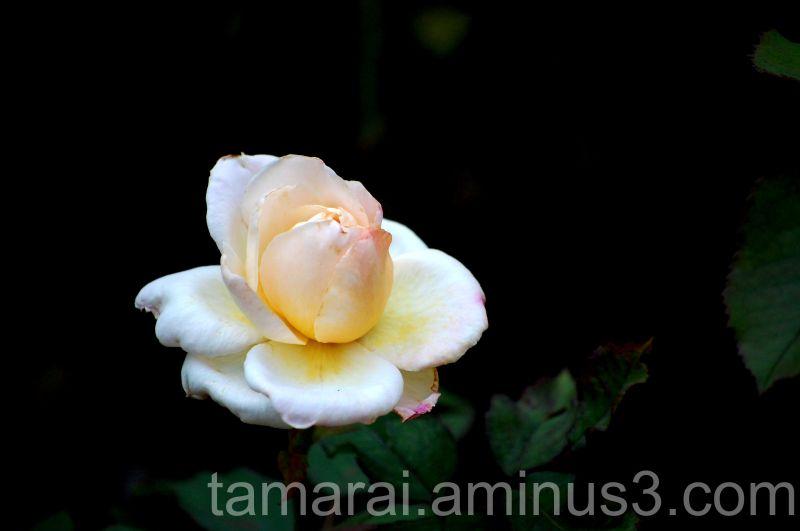 Roses aren't perfect