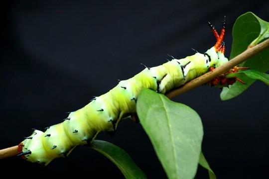 Marshmallow Caterpillar