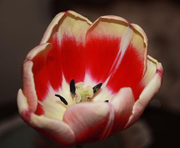 flourished tulip