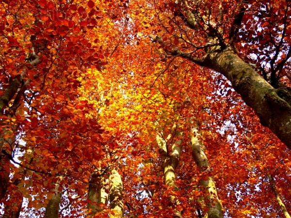 autunno tra i faggi