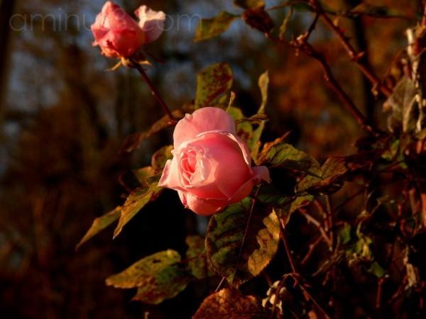 rosarosae