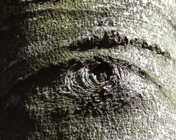 occhio di faggio