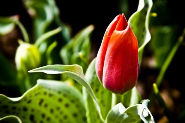 Second Tulip