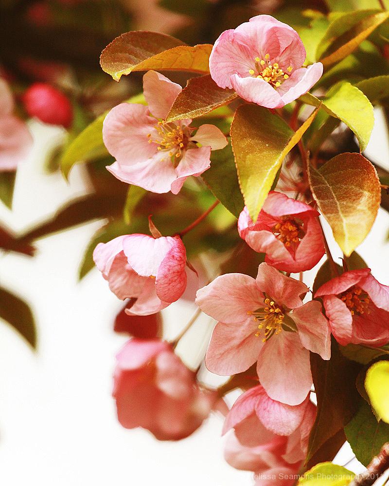 Spring Blossom II