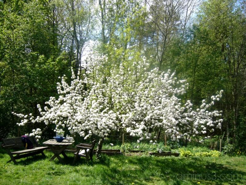 My friends apple-tree.