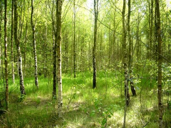 The birch-trees.