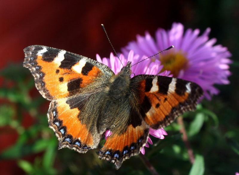 Aglais urticae - Small tortoiseshell butterfly.