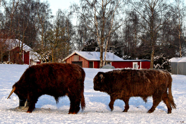 Highland cattles (you and me?) in new adventures.